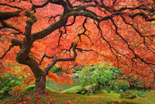 USA, Oregon, Portland. Japanese Maple Tree Next To Pond At Portland Japanese Garden.