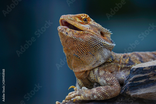 Photo green iguana on a rock