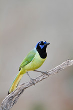 Green Jay (Cyanocorax Yncas) In Tree Starr, Texas, USA.