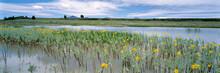USA, Oregon, Plush. Yellow Wildflowers Bloom In A Pond Near Plush In Lake County, Oregon.