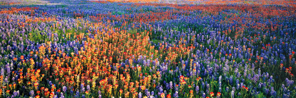 Fototapety, obrazy: USA, Texas, Llano. A colorful pattern is created by bluebonnets and redbonnets in the Texas hill country near Llano.