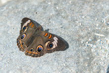 Common Buckeye, Nymphalidae