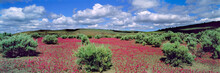 USA, Oregon, Diamond. Bright Pink Flowers And Sagebrush Cover The Desert Floor Near Diamond, Oregon.