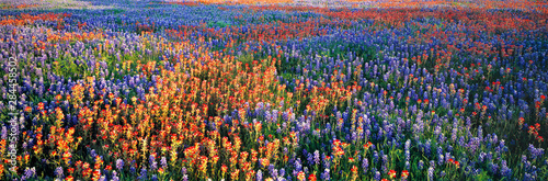 Fond de hotte en verre imprimé Texas USA, Texas, Llano. A colorful pattern is created by bluebonnets and redbonnets in the Texas hill country near Llano.