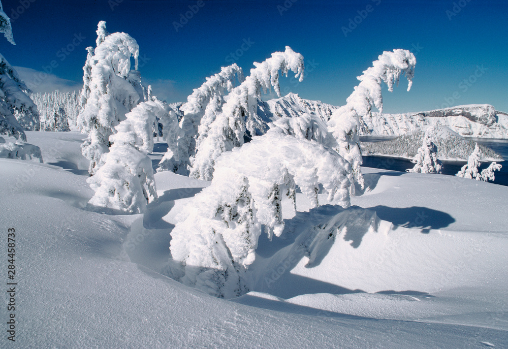 Fototapeta USA, Oregon, Crater Lake NP. Trees droop under a blanket of thick snow at Crater Lake National Park in Oregon.