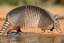 USA, Texas, Gatesville, Santa Clara Ranch. Nine-banded Armadillo And Water.
