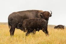 USA, South Dakota, Custer State Park. Bison Calf Nursing Mother. Credit As: Cathy & Gordon Illg / Jaynes Gallery / DanitaDelimont.com