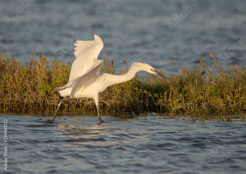 Photo Immature white-morph reddish egret, Egretta rufescens, San Antonio Bay, Texas
