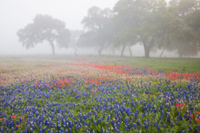 Field Of Bluebonnets (Lupinus ...