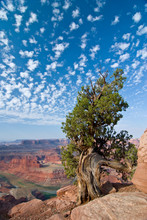 USA, Utah, Deadhorse Point SP. Old Juniper Perches On Mesa Rim Under A Big Buttermilk Sky.