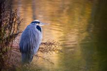 USA, Washington, Seabeck. Close-up Of Great Blue Heron At Edge Of Pond.