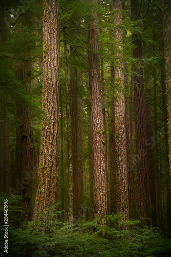 Fototapeten Wald USA, Washington State, Olympic National Park. Western hemlock trees in rainforest.