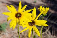 Common Sunflower (Helianthus Annuus) Wild Flower, Capitol Reef National Park, Utah, USA.