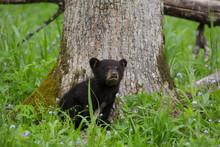 USA, Tennessee, Great Smoky Mountains National Park. Black Bear Cub Next To Tree.