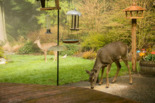 Issaquah, Washington State, USA. Two Mule Deer Does (Odocoileus Hemionus), One Eating Birdseed And One Keeping Watch.
