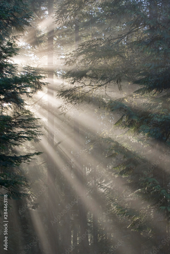 Fototapeta USA, Washington, Seabeck, Scenic Beach State Park. God rays illumine tree branches in winter fog.
