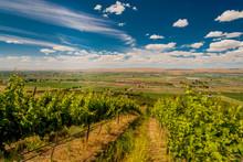 Vineyard In Summer Sun In Yaki...