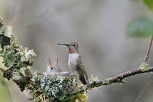 USA. Washington State. Adult Female Anna's Hummingbird (Calypte Anna) At Cup Nest Containing Two Chicks.