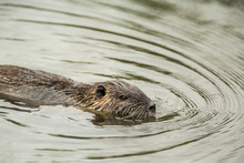 Ridgefield, Washington State, USA. Nutria Swimming In Ridgefield National Wildlife Refuge. Coypu, Also Known As The River Rat Or Nutria, Is A Large, Omnivorous, Semi-aquatic Rodent.