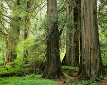 WA, Mt. Rainier NP, Grove Of The Patriarchs, Western Red Cedar Trees