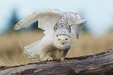 Snowy Owl, Feathered Feet