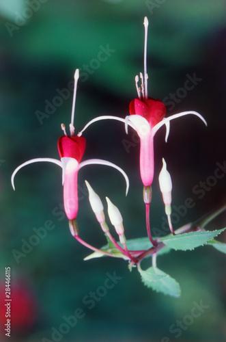 Washington, Bellevue Botanical Garden, Close-Up of Fuchsias Fototapeta