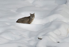 USA, Wyoming, Yellowstone National Park, Winter, Bob Cat