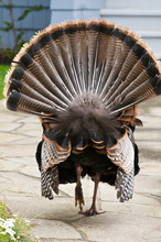 USA, WA, La Conner. Wild Turkeys (Meleagris Gallopavo) Have Established In The Town Becoming Mascots. This Male (gobbler) Engages In A Courtship Display Ritual.