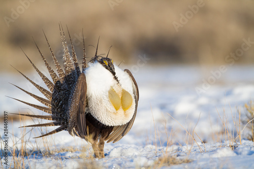 Fototapeta Wyoming, Sublette County, male Greater Sage Grouse strutting on leg in snow