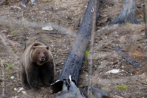 Grizzly or Brown Bear (Ursus arctos) Yellowstone National Park Tablou Canvas