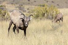 Rocky Mountain Bighorn Ewe, Ovis Candensis, Gallatin Range, Yellowstone National Park, Wyoming