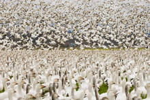 USA, WA, Skagit River Delta, Fir Island. Snow Geese (Chen Caerulescens) Stop Over In Skagit Valley During Spring Migration.