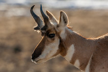 USA, Wyoming, Paradise Valley. Close-up Of Pronghorn Antelope.