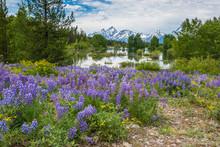 Lupine And Pond, Grand Teton National Park