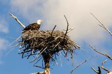 Bald Eagle On Nest Near Madison, Yellowstone National Park, Wyoming, USA.