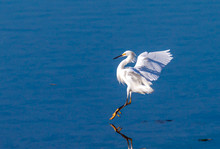 Snowy Egret Landing On Back Bay In Newport Beach California On A Sunny Day
