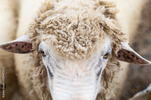 Foto op Canvas Schapen Close up white sheep in the farm.
