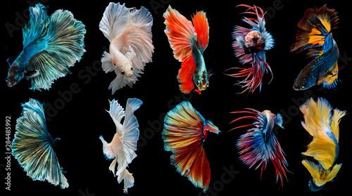 Photo halfmoon betta fish, siamese fighting fish, betta splendens