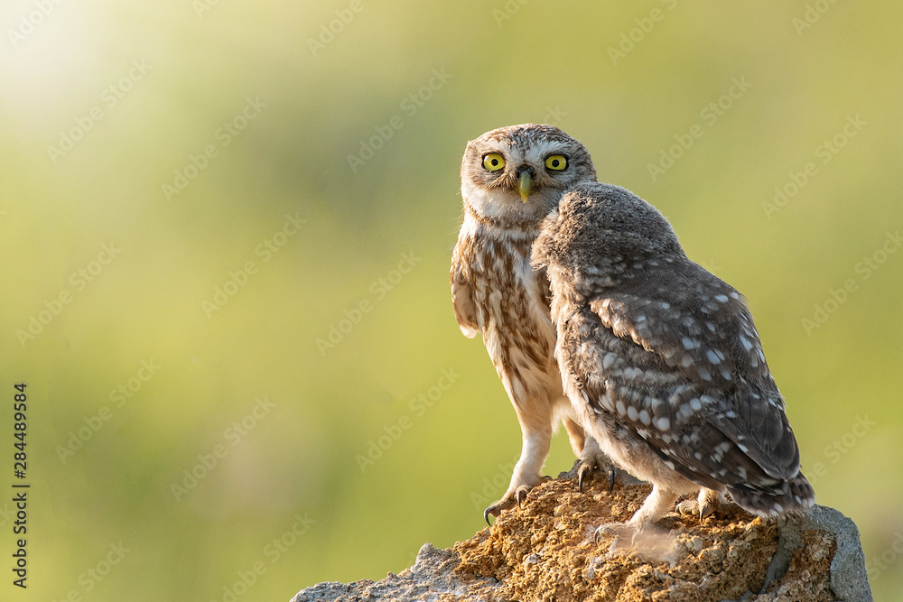 Fototapety, obrazy: Two Little owls, Athene noctua, stand on the stone against a blurred natural background. With copy space