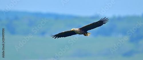 Photo  丘のグリーンをバックに飛ぶオジロワシ
