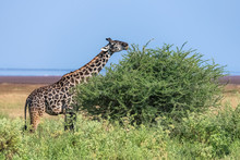 Giraffe Eating Acacia Leaves In The Savannah, With A Beautiful Panorama Of Tanzania In Background, At The Manyara Lake