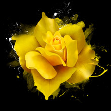 Yellow Rose, With Splashes And Drips Of Paint. On A Black Background, Close-up. Amazing Elegant Artistic Image Of The Queen Of Flowers