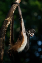 Spider Monkeys Are New World M...