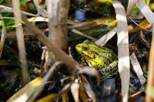 Green Pond Frog Sitting On A Leaf