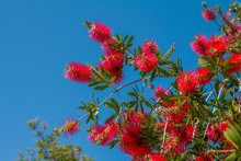 Beautiful Blooming Callistemon Bush With Bright Red Flowers Also Called Bottlebrush Over Blue Sky