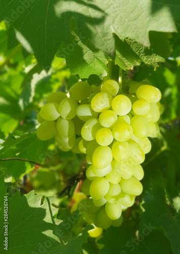 White table grapes on the vine in the sunlight. Fototapete