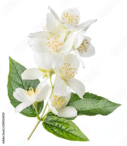 Fotografie, Tablou Blooming jasmine flowers isolated on white.