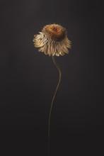 Minimal Dried Flower Isolated Dark Background