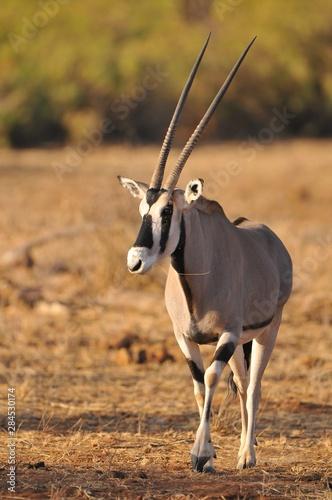 Foto op Aluminium Antilope Oryx in Knya