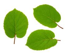 Kiwi Fruit Leaf Isolated White...